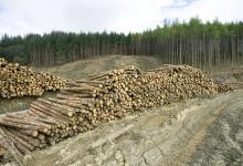 Самые большие потери уникальных лесов в мире приходятся на Россию.